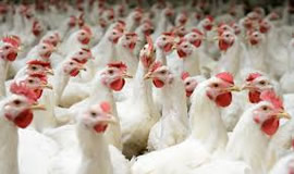 Domestic poultry industry
